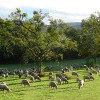 Schafe im NSG